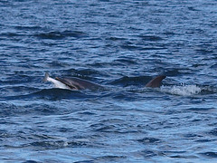 Fish supper (Ally.Kemp) Tags: salmon dolphins rosemarkie blackisle morayfirth fortrose rossshire chanonrypoint scottishsalmon