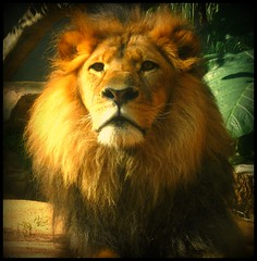 lion watching you - Jambo (genevieve_beecham) Tags: cat zoo eyecontact lion bigcat tarongazoo