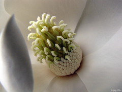 Tentacles of life.  Happy Whispery White Wednesday! (sylkyred1) Tags: white green nature outdoors soft center fragrant magnolia satin hintofred foldedpetals tentaclesoflifehappywhisperywhitewednesday explored6170982highestrank