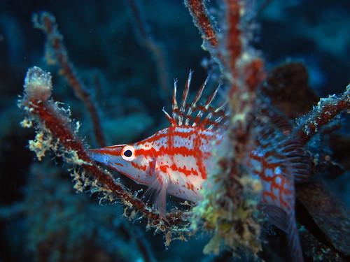 Animal World of Water: Longnose Hawkfish (Oxycirrhites typus)