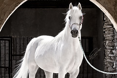 (Fawaz Al Nashmi) Tags: horse animal animals arab fawaz          alnashmi