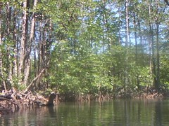 Mangrove River Tour - Sabang, Palawan, Philippines (This World Rocks) Tags: trip vacation video southeastasia philippines sanyo elnido palawan waterproofcamera sanyoxacti sanyoxactivpce2 waterproofcamcorder