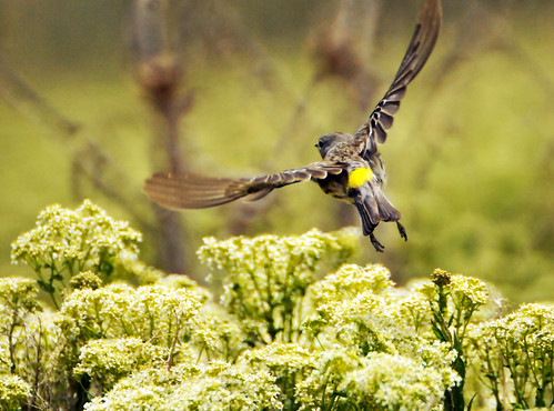 Yellow rumped warbler in flight