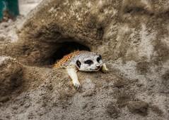 Meerkat in Japan! So tired...