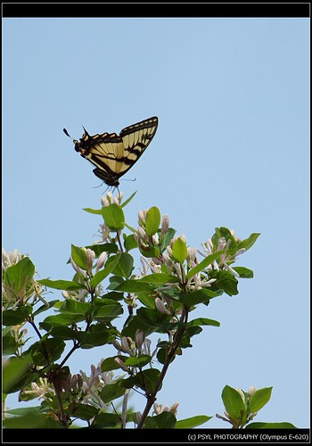 Eastern Tiger Swallowtail (Papilio glaucus) 4