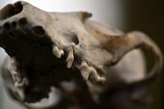 Skull (Ashley Hebblethwaite) Tags: rotting up field death skull weird close teeth creepy depth