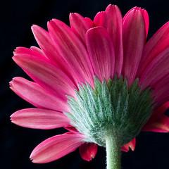 Gerbera (LauriePix1) Tags: pink flower macro gerbera daisy wonderfulworldofflowers