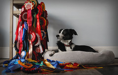 Tilly and her 2008 season rosettes (Kate Shephard) Tags: blackandwhite dog jumping bed nikon agility ribbon bordercollie tri rosette huntaway workingsheepdog d40x