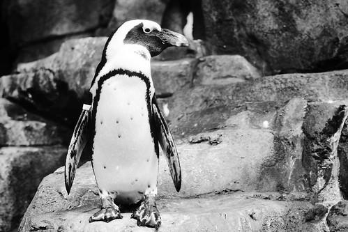 Pinguino!