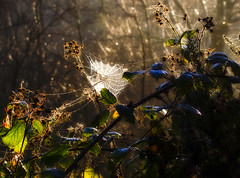 The Web Of Light (Paul Sivyer) Tags: light sunlight paul web rays shrubs wildwales sivyer