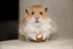 """I'm one now?"" (jade_c) Tags: pet animal mammal rodent singapore hamster pancake  syrianhamster  goldenhamster tamronspaf1750mmf28xrdiiildasphericalif longhairedsyrianhamster longhairedgoldenumbrous"