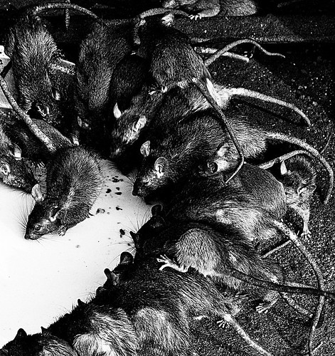 holy rats!