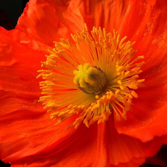 Poppy Stubble...