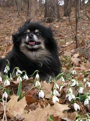 Samson among the snowdrops (ranjit) Tags: park nyc dog brooklyn prospectpark windy snowdrops samson snowdrop snowdropland filenameimg5001f