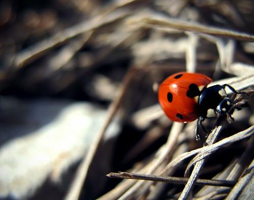 Ladybug:  February 9, 2009