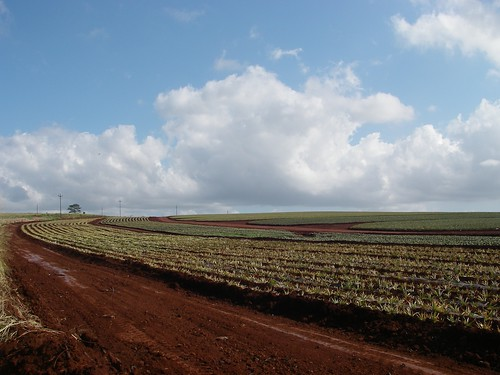 Oahu Pineapple Field