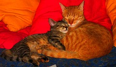 Lovebirds caught napping (whyIwhy?!?) Tags: cats napping lovebirds caught