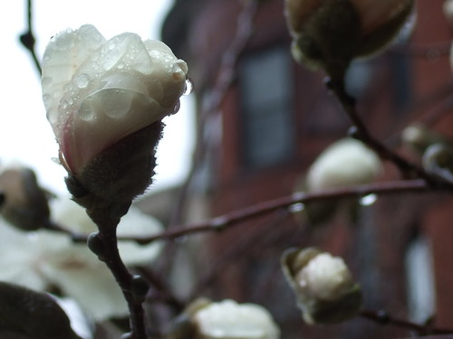 Magnolia buds 2 by Simba tango, on Flickr