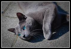 Blue Eyes (Paul M. Kelly) Tags: blue netherlands cat eyes gray whiskers lying veendam kittyschoice nikond40kit