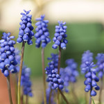 Blauwe Drúfkes / Common grape hyacinth thumbnail