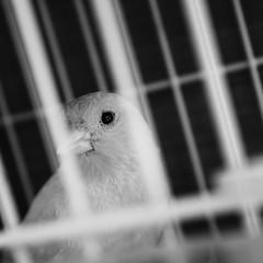 Wants to be free (staRdixa) Tags: blackandwhite bw bird eye blancoynegro animal closeup libertad sadness tristeza jaula freedom sad free cage bn triste caged ave libre prisoner canario pájaro prisionero canarybird enjaulado