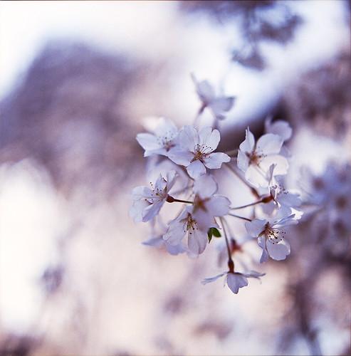 Sakura*