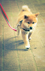 Suki's First Walk (kaoni701) Tags: dog cute animal puppy mammal japanese nikon d70 walk ken kawaii doggy leash suki shibainu shiba dx 柴犬