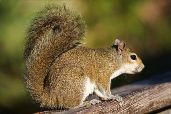 squirrel_0100