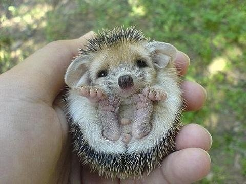 Hedgehog Ears!