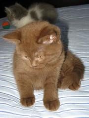 chaton chocolat
