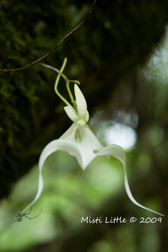 ghost orchid with spider copy