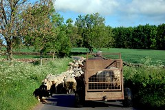 Sheep congestion