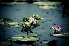 Water Lily (ddsnet) Tags: plant flower water waterlily lily sony aquatic  aquaticplants 900       lily water  tetragona water   900 lily nymphaeatetragona    nymphaea plants nymphaeatetragon aquatic nymphaea tetragona plantsnymphaea tetragona
