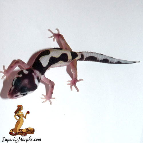 Mack Snow Jungle het Tremper Albino