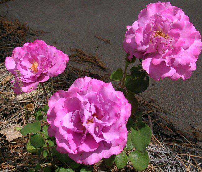More June Roses