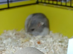 Beany, 2006 (gingersquirrel) Tags: pets 2006 hamsters beany