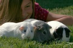 Guinea pig play