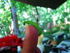 green inch worm