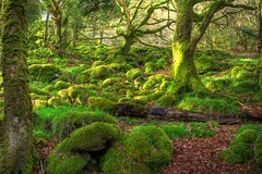 Ty Canol at dawn (Ian Rogers666) Tags: trees wales forest woodland dawn woods earlymorning pembrokeshire ancientwoodland ancienttrees tycanol ancientforest platinumheartaward ancientwoods top20greenish