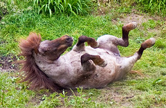 Mare Scratching Her Back (aeschylus18917) Tags: horse macro nature japan nikon mare g micro 日本 txt saitama nikkor scratch f28 vr hanno mammalia itch pxt equus saitamaken koma 105mm 埼玉県 105mmf28 equidae perissodactyla 105mmf28gvrmicro rollinthehay saitamaprefecture d700 nikkor105mmf28gvrmicro ダニエル equusferus danielruyle aeschylus18917 danruyle druyle ルール ダニエルルール 飯能市 hannō hannōshi
