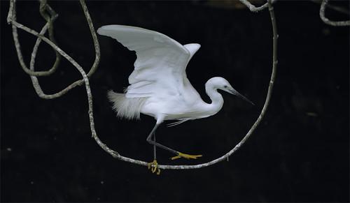 #595 白鷺藤櫺 Bird Circus