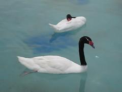Elegance (Armando Moreschi) Tags: valencia animal acquarium acqua cigno armandomoreschi
