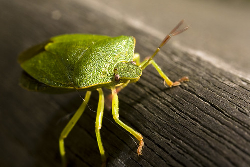 Shield Bug From Above