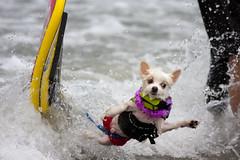 Bobby Gorgeous wipes out! (San Diego Shooter) Tags: wallpaper sandiego surfer surfing desktopwallpaper week47 surfingdog dogsurfing loewscoronadobayresortsurfdogcompetition surferwipeout thepinnaclehof tphof sandiegodesktopwallpaper surfdogcompetition2010imperialbeach dogsurfingwipeout tphofweek47 loewscoronadobayresortsurfdogcompetition2010 nathangoodsurferdog