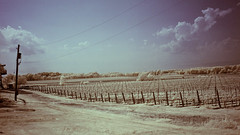 Grape fields (fazz33 (Chris)) Tags: leica sky ir photography photos winery m8 fields grape