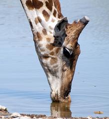 JIRAFA -5- (adelarad21) Tags: africa giraffe namibia jirafa ethosa mygearandme peregrino27life