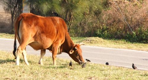 Panpan TW 拍攝的 西園-鳥與牛。