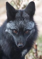 Black Fox (mhawkins) Tags: yard fox blackfox