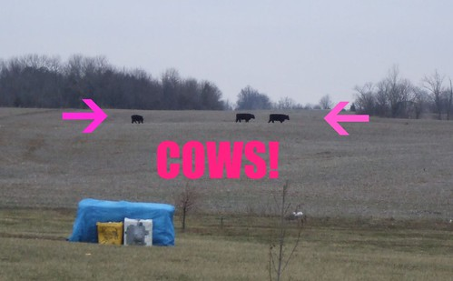 cows 001