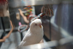 cute parakeet (Dave Womach) Tags: white color bird by giant toys design three little eating small flock parrot cage best together budgie parakeet perch huge nikko feeders macaw pure ever rare lexi parakeets visa budgies solid mutation cages